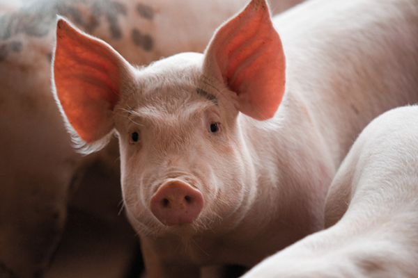 North Carolina Pig Farmers Go Green - North Carolina Field