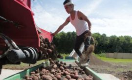 Pamlico Shores potatoes