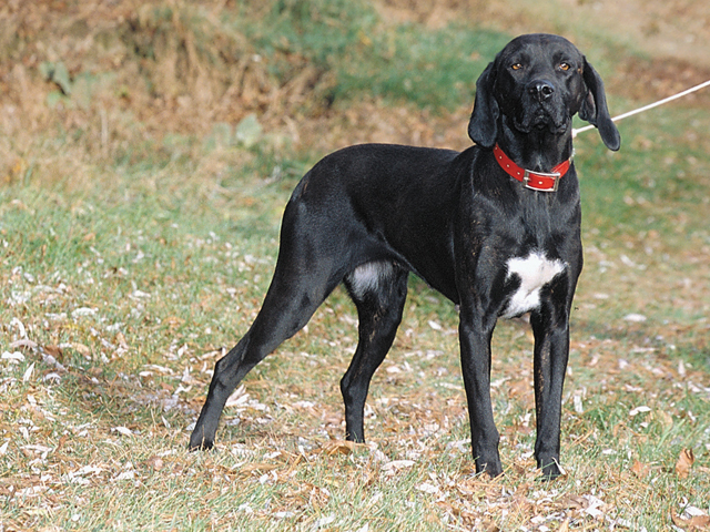 Dog Breed Info Plott Hound