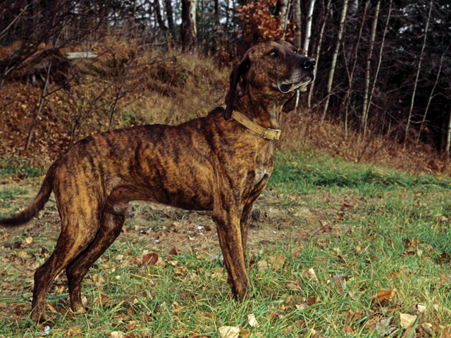 Nc Plott Hound Breeders not know the Plott Hound