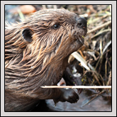 North Carolina Works to Resolve Conflicts Between People and Beavers