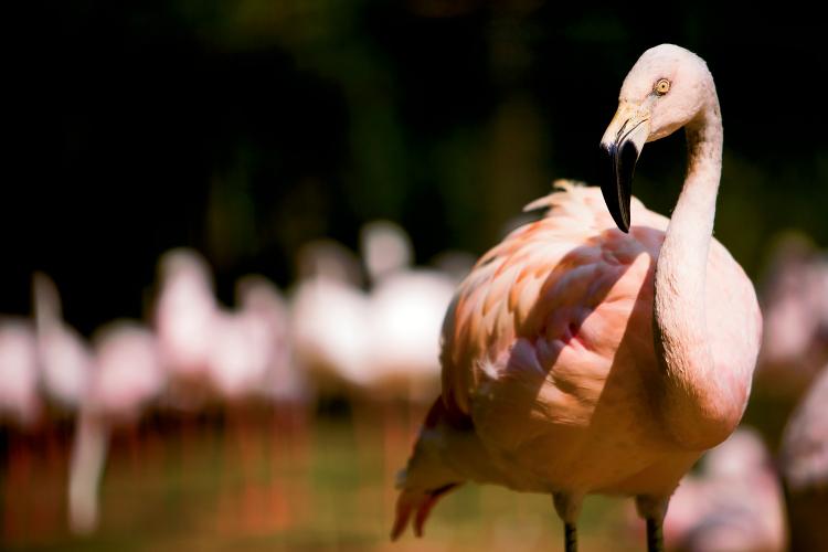 Flamingos at Sylvan Heights Bird Park