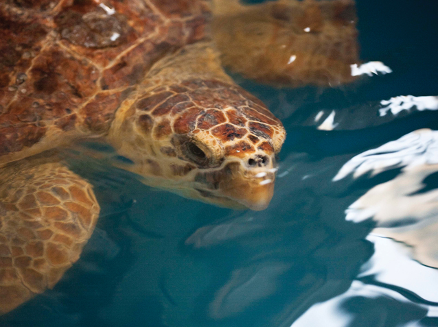 sea turtle in North Carolina