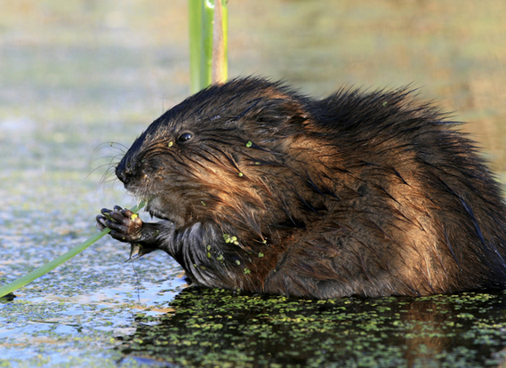 Beaver Management in NC
