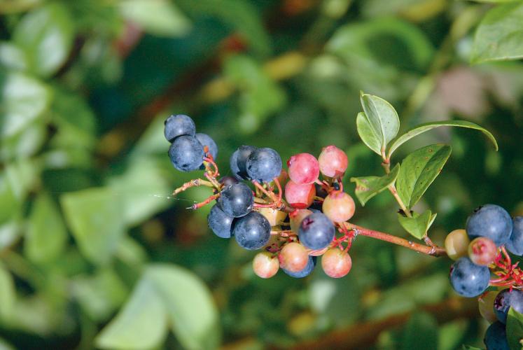 North Carolina Blueberry Festival