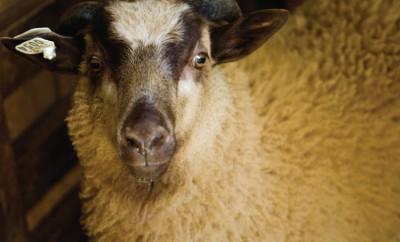 Shetland sheep
