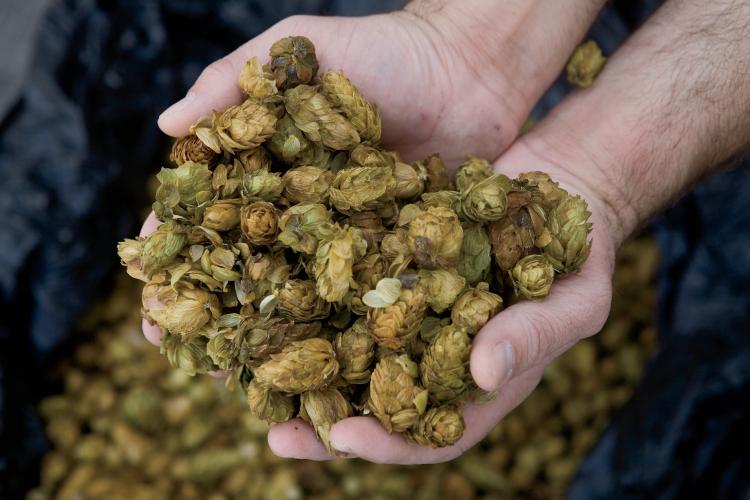 hops grow in NC