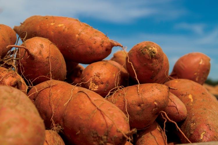 North Carolina sweet potato exports
