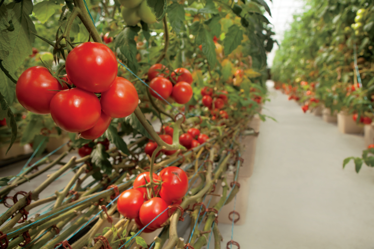 Tomatoes as Teaching Tools