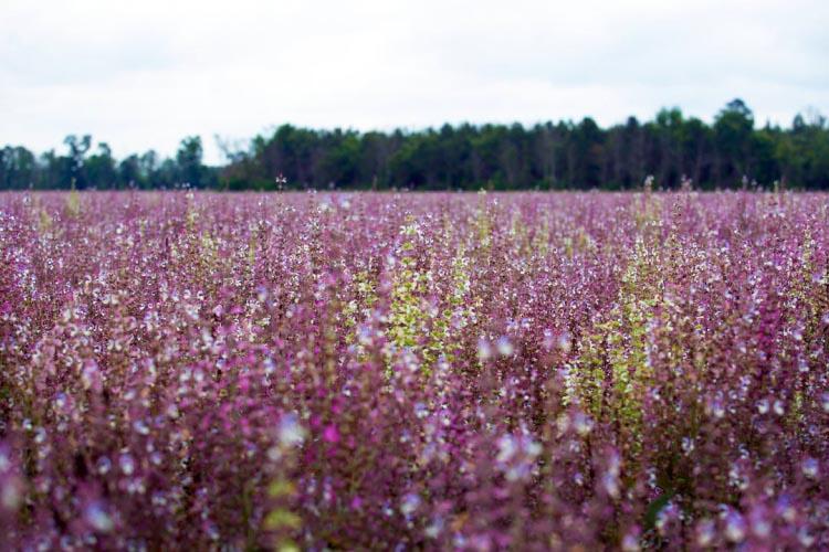 sage fields