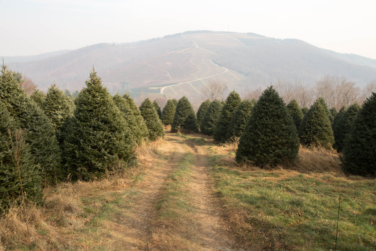 NC Christmas trees