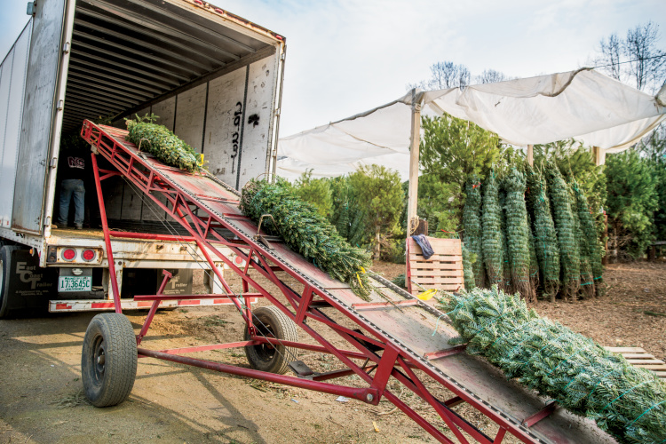 Why You Should Buy A Real North Carolina Christmas Tree