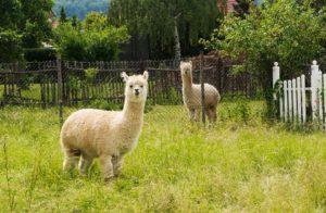 alpaca facts