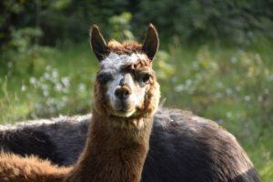 North Carolina alpaca farms