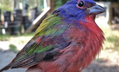 eastern painted bunting