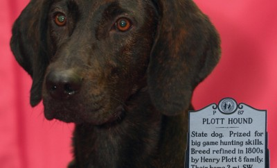 plott hound dog